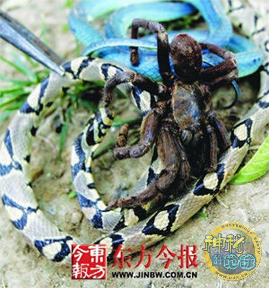 两条蛇大战巨型蜘蛛图片