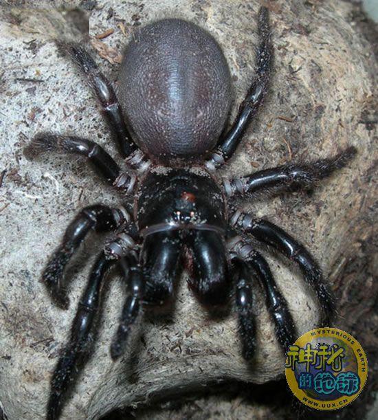 世界上 动物 蜘蛛/漏斗形蜘蛛