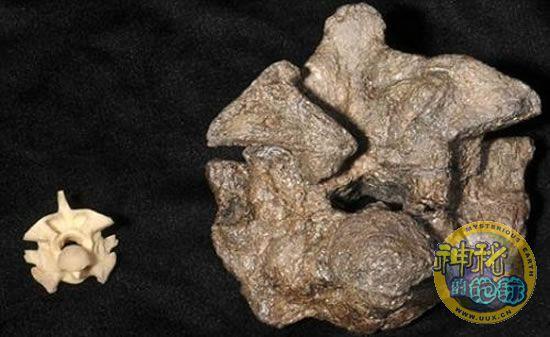 最大 水莽/水莽的椎骨(左)与最新发现的蟒蛇化石椎骨(右)对比