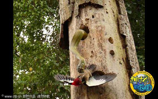 啄木鸟大战侵入巢穴的3米长巨蛇