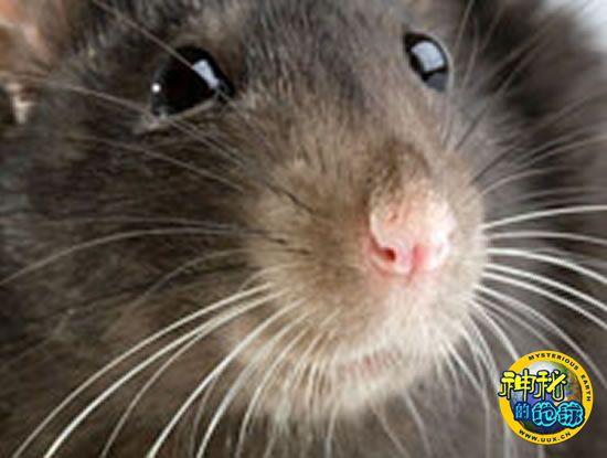 动物 疾病/如果你生病了,这只小老鼠或许你该闻出来。