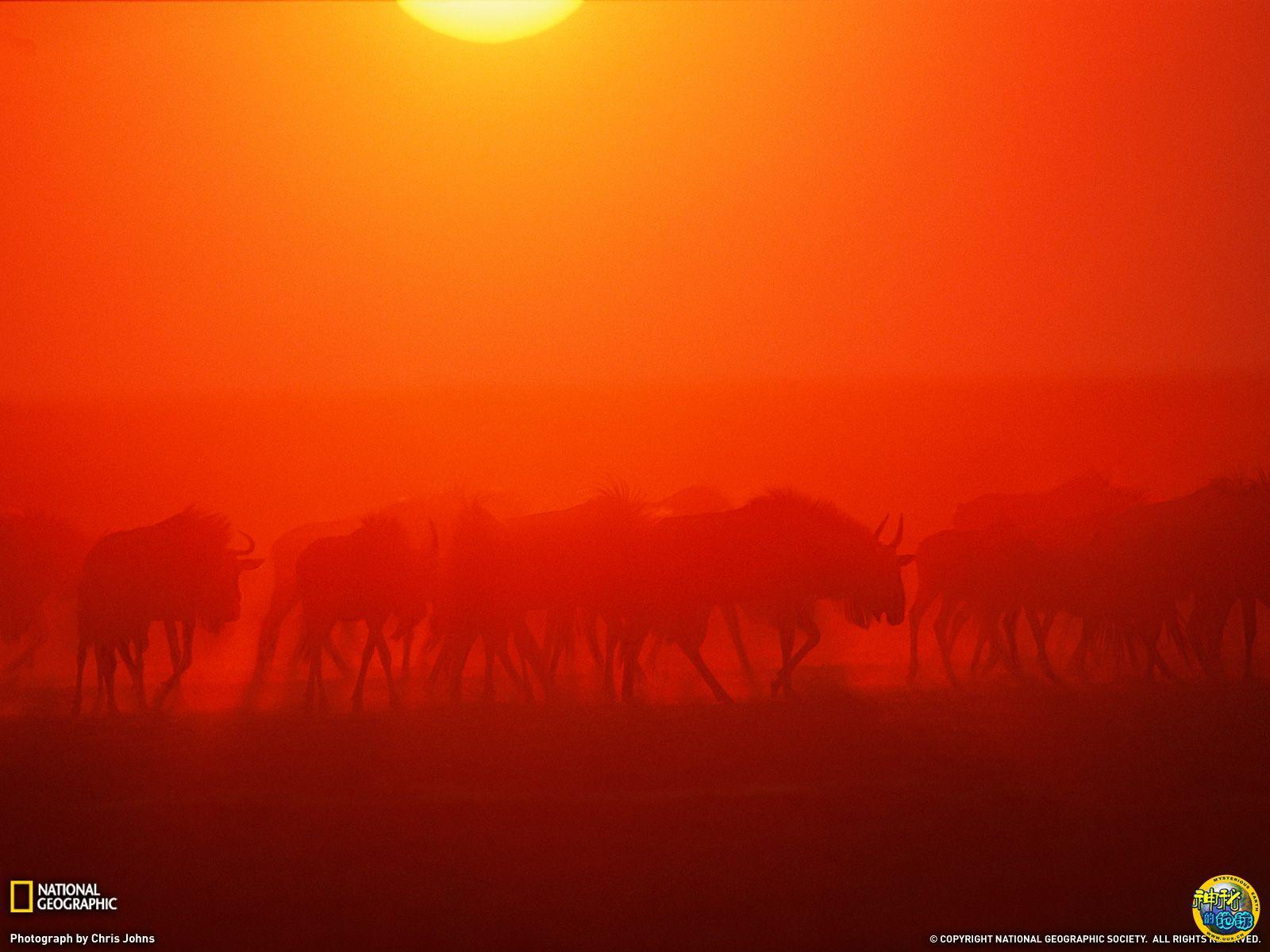 迁徙的角马群穿越赞比亚流花国家公园 - 神秘的