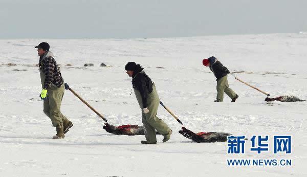 2月24日,在加拿大新斯科舍省,猎手拖拽海豹尸体。