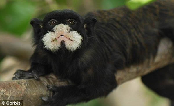 宠物指猴多少钱一只_狨猴_狨猴多少钱一只_侏儒狨猴-爱宠网