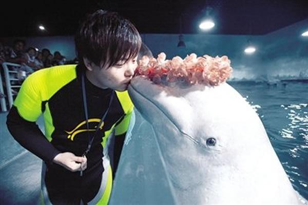 天津海洋世界白鲸过生日 头戴花冠致谢
