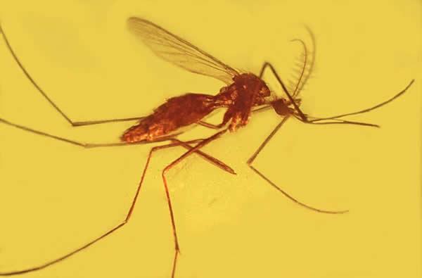琥珀/琥珀中的吸血昆虫