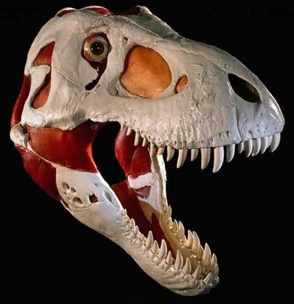 牛顿/这是一具出土于美国南达科他州的霸王龙头骨三维肌肉结构重建...