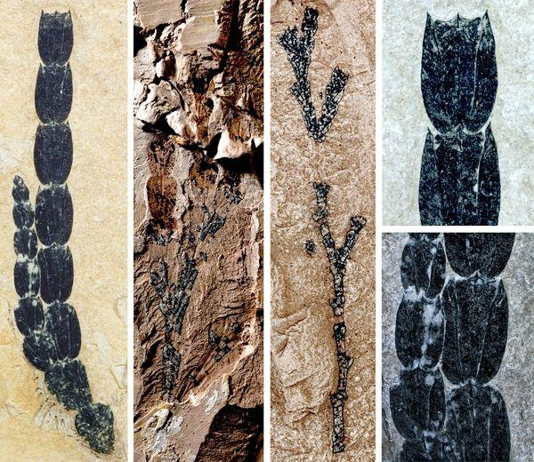 化石记录揭示翠柏东亚——北美间断分布格