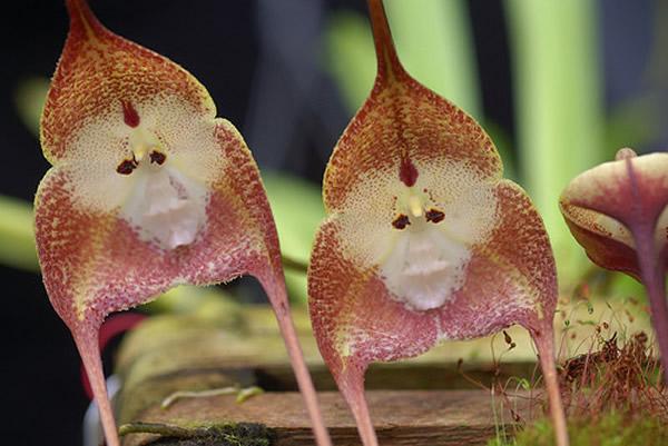 """稀有的兰花品种:""""猴面小龙兰""""  稀有的兰花品种:""""猴面小龙兰"""""""
