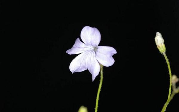 """植物学家最新在巴西热带草原上发现的""""食虫草""""Philcoxia_minensis。"""
