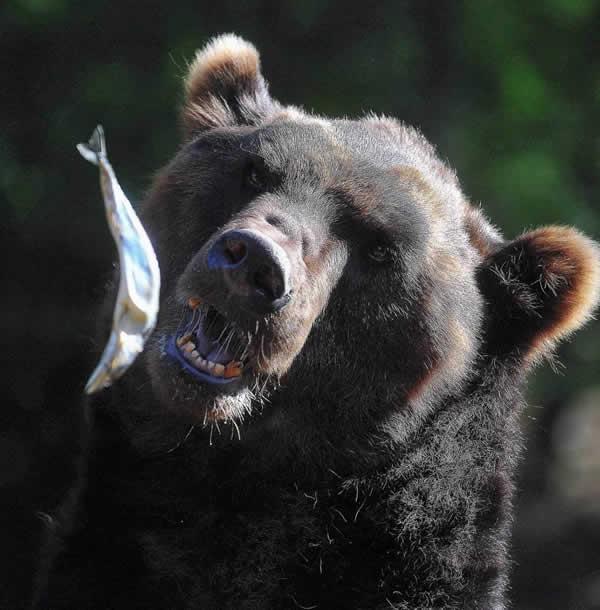 棕熊张开大口接空中飞鱼图片