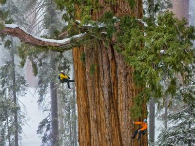 Giant Sequoias Grow Faster With Age