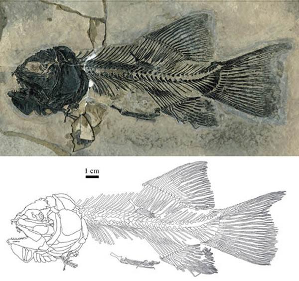意外裸鱼(Gymnoichthys inopinatus)新标本(IVPP V 16354)(金帆供图)