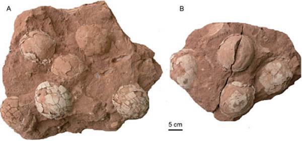 下西山拟网形蛋(Paradictyoolithus xiaxishanensis oogen. et oosp. nov.)(王强供图)