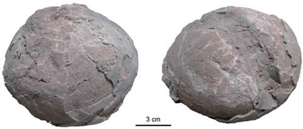内乡原网形蛋(Protodictyoolithus neixiangensis)(王强供图)