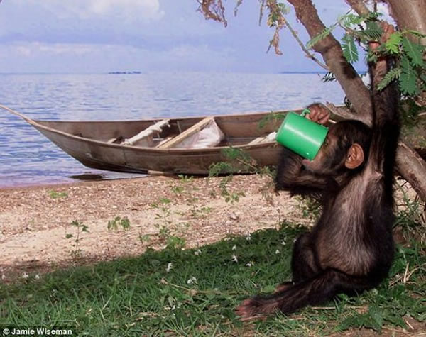 科学家最新研究显示,人类饮酒基因源自1000万年前人类、大猩猩和黑猩猩的共同祖先