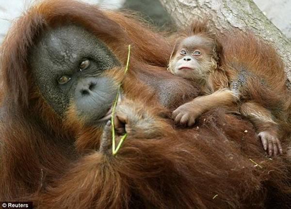 这项研究将解释为什么树栖红毛猩猩不具备消化酒精的能力