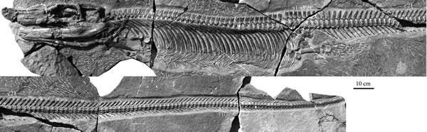双列齿凹棘龙(Concavispina biseridens)正型标本