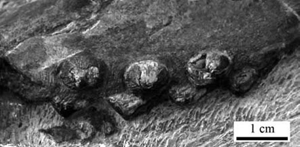 双列齿凹棘龙(Concavispina biseridens)上颌骨牙齿化石
