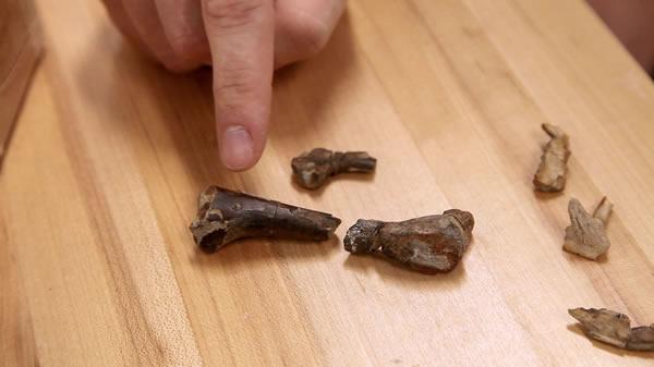 恐龙股骨化石中嵌入了一颗鳄形类牙齿