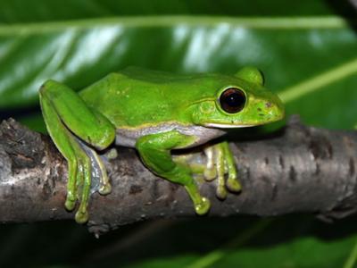 树蛙研究揭示渐新世时期印度板块和欧亚板块存在快速物种交流