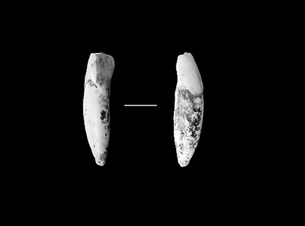 发掘的古人类门齿化石