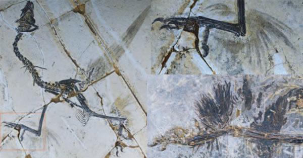 最新研究显示在进化为双翼之前鸟类有四个翅膀
