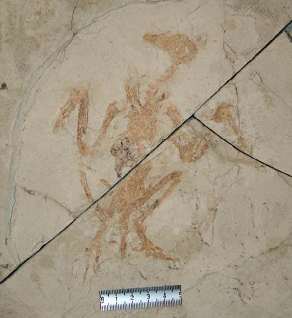 保存卵巢滤泡的反鸟类化石之一(周忠和供图)