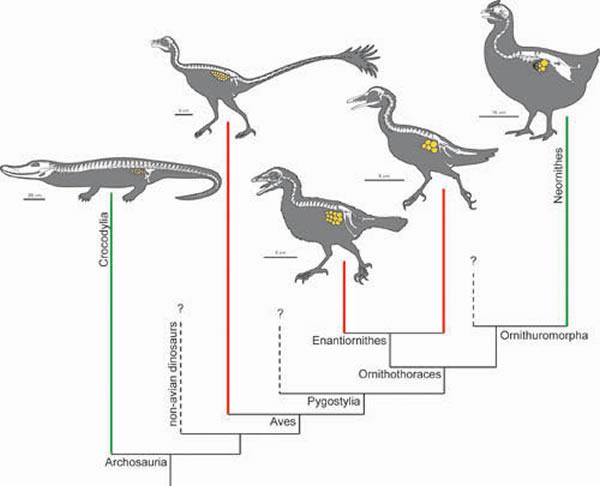 从鳄鱼到现生鸟类的演化(史爱娟绘制)