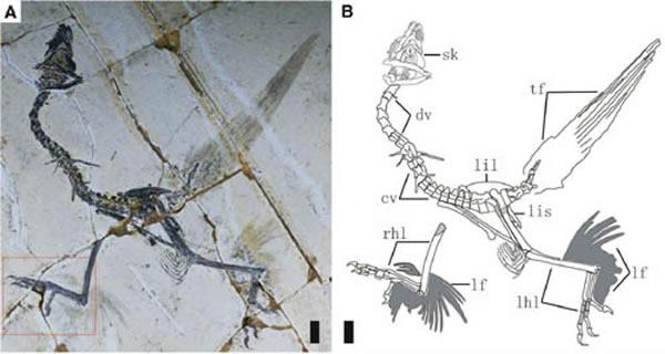 保存有后肢羽毛的会鸟标本(王孝理供图)