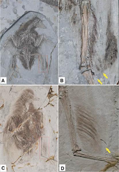保存有后肢羽毛的孔子鸟(A、B)和华夏鸟(C、D)标本(王孝理供图)