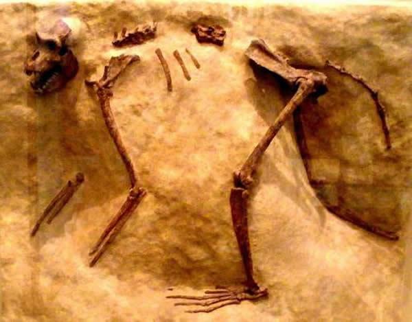 在肯尼亚发现的化石猴类Paracolobus chemeroni,此骨架并非此文提到的在肯尼亚的发现