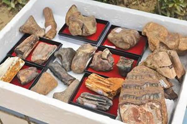 台南市左镇地区出土丰富的象类化石