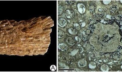 辽西侏罗纪发现一种新的紫萁矿化根茎化石——北票阿氏茎