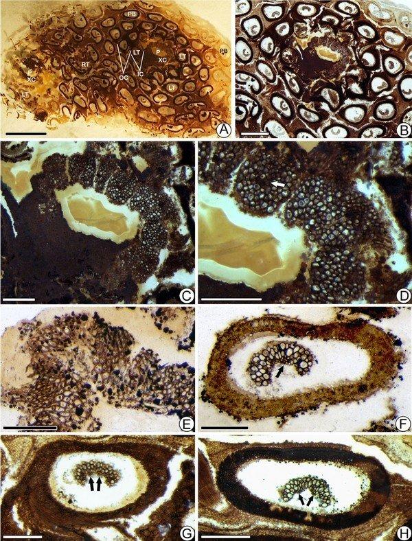 北票阿氏茎(新种)叶柄基解剖构造