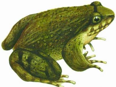 地质运动影响中国南方棘腹蛙群体演化