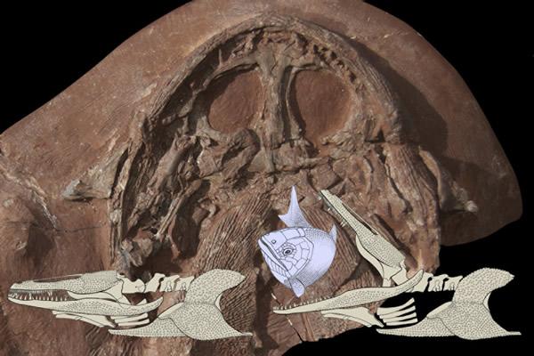 Gerrothorax pulcherrimus化石