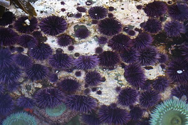 海洋酸化导致了紫海胆显著的遗传变化