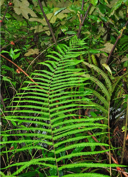 海南发现过去认为已灭绝的蕨类植物——海南金星蕨