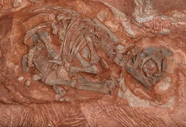 刀背大椎龙胚胎化石