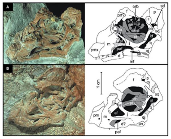 巨龙类胚胎化石
