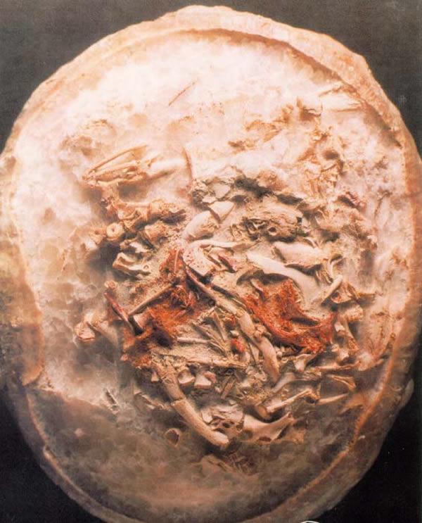 镰刀龙超科胚胎化石