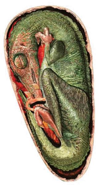 美丽伤齿龙胚胎复原图