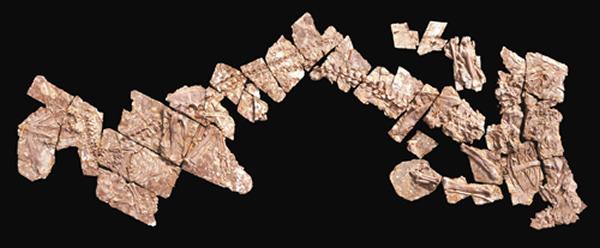 华丽羽王龙化石