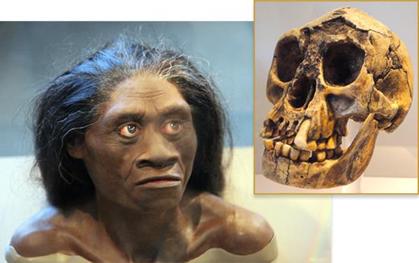霍比特人大脑尺寸与黑猩猩大脑相当