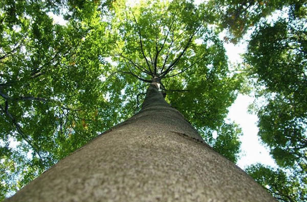 A European beech tree contributes particles that could slow warming.