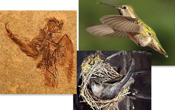 蜂鸟和雨燕是分开进化的