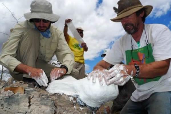 美国菲尔德自然历史博物馆的Ken Angielczyk和Iziko南非博物馆的Roger Smith正在为一个二齿兽头骨化石铸模。该化石发现于赞比亚,年代为二叠