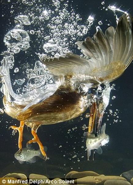 翠鸟/翠鸟入水捕鱼的精彩镜头