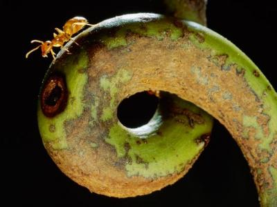 Carnivorous Plant Keeps House With Ants
